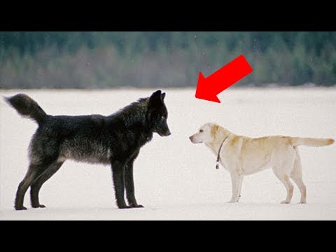 This is what happens when a wild wolf approaches a pet dog