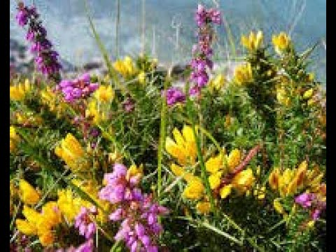 Wild mountain thyme song on visit to the highlands of scotland